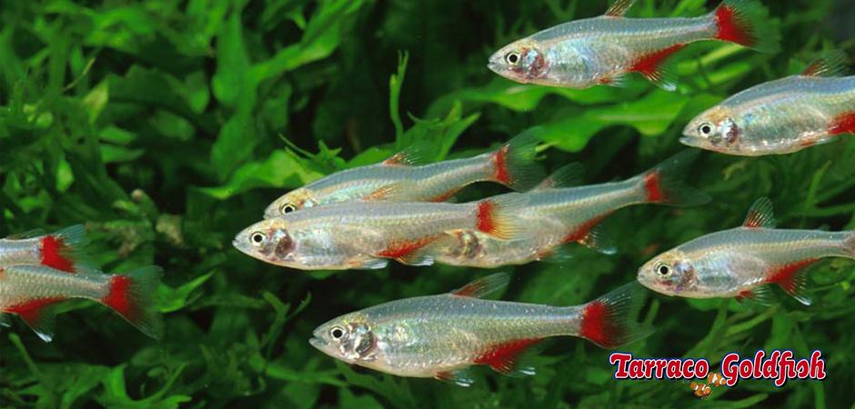 https://www.tarracogoldfish.com/wp-content/uploads/2014/02/Aphyocharax-anisitsi-1-TarracoGoldfish.jpg