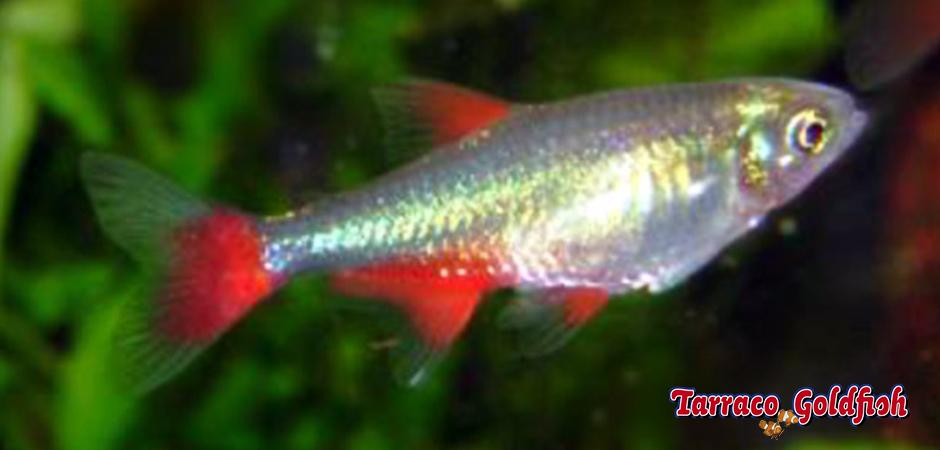 https://www.tarracogoldfish.com/wp-content/uploads/2014/02/Aphyocharax-anisitsi-2-TarracoGoldfish.jpg