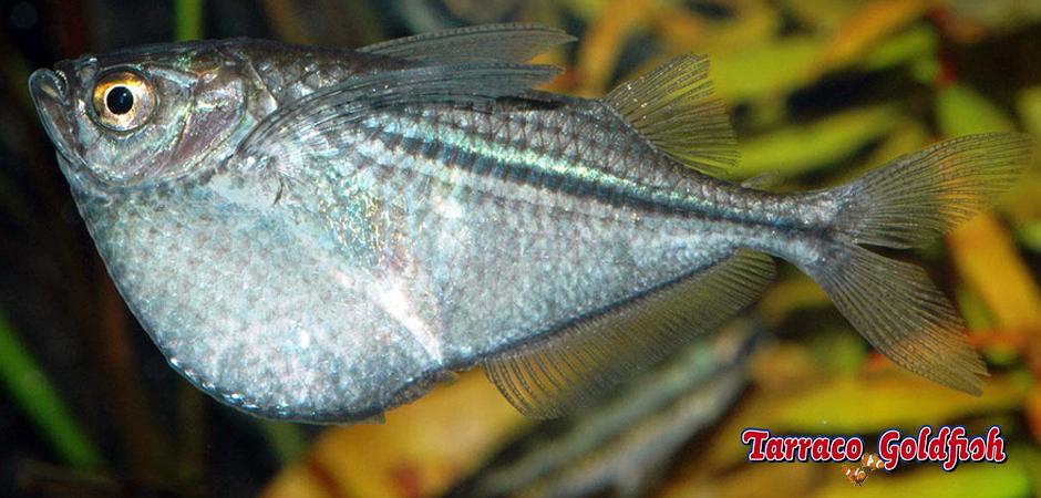 https://www.tarracogoldfish.com/wp-content/uploads/2014/02/Gasteropelecus-sternicla-4-TarracoGoldfish.jpg