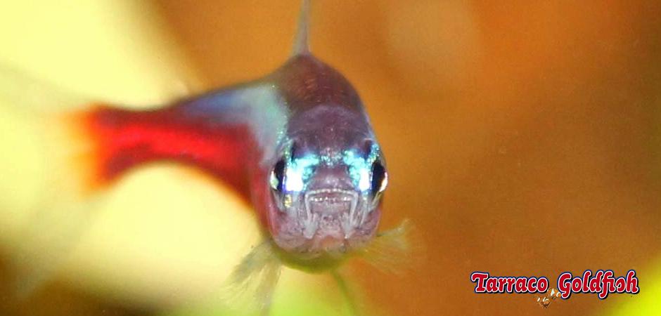 https://www.tarracogoldfish.com/wp-content/uploads/2014/02/Paracheirodon-axelrodi-2-TarracoGoldfish.jpg