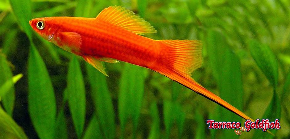 https://www.tarracogoldfish.com/wp-content/uploads/2014/02/XIPHOPHORUS-HELLERI-1.png