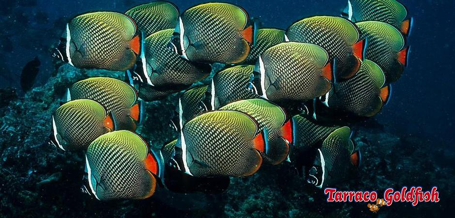 https://www.tarracogoldfish.com/wp-content/uploads/2014/05/Chaetodon-Collare-4-TarracoGoldfish.jpg