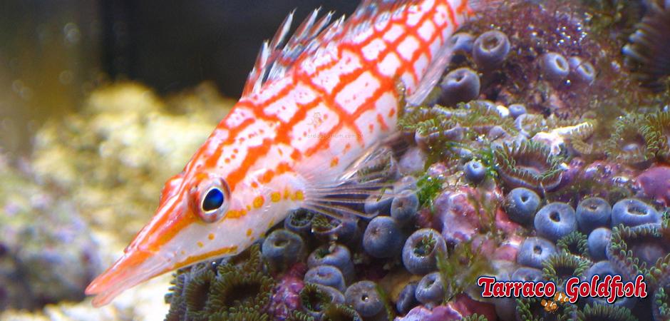 https://www.tarracogoldfish.com/wp-content/uploads/2014/11/Oxycirrhites-tipus-TarracoGoldfish5.jpg