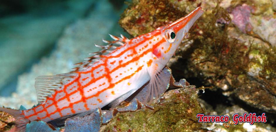 https://www.tarracogoldfish.com/wp-content/uploads/2014/11/Oxycirrhites-typus-TarracoGoldfish3.jpg