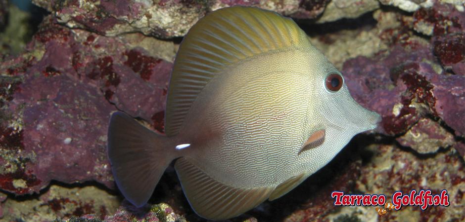 https://www.tarracogoldfish.com/wp-content/uploads/2015/01/Zebrasoma-Scopas-TarracoGoldfish-3.jpg