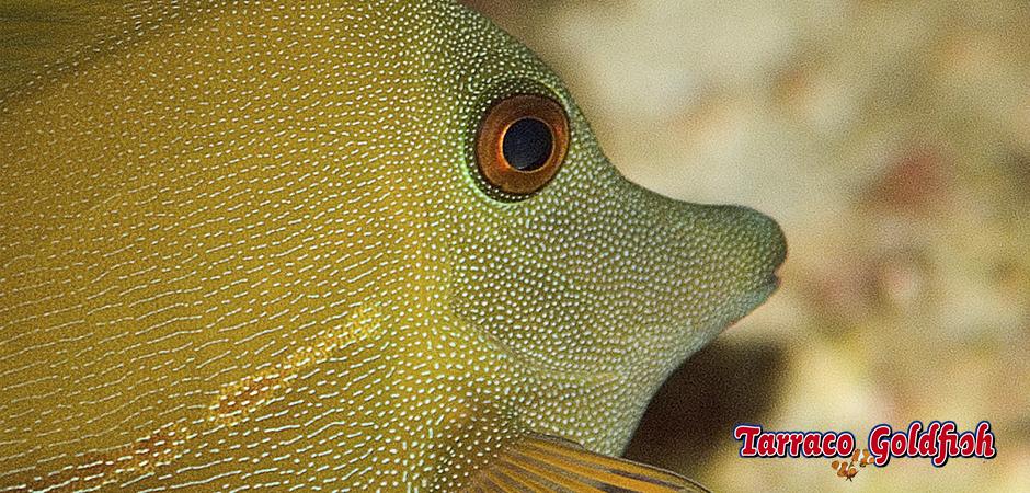 https://www.tarracogoldfish.com/wp-content/uploads/2015/01/Zebrasoma-Scopas-TarracoGoldfish-4.jpg