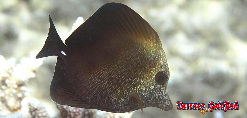 https://www.tarracogoldfish.com/wp-content/uploads/2015/01/Zebrasoma-Scopas-TarracoGoldfish1.jpg