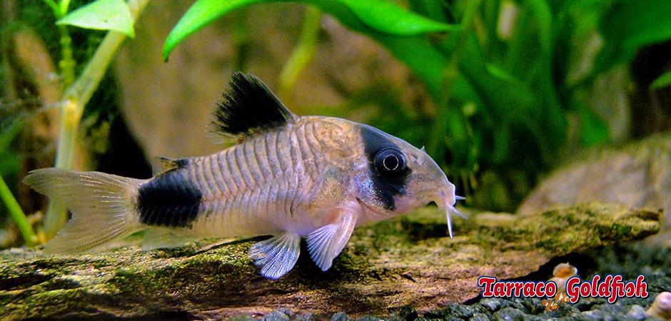 https://www.tarracogoldfish.com/wp-content/uploads/2015/02/Corydora-Panda-TarracoGoldfish3.jpg