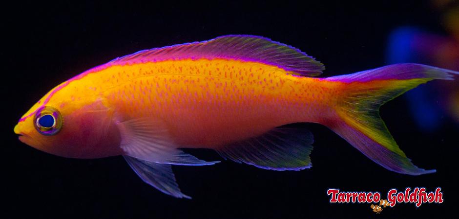 https://www.tarracogoldfish.com/wp-content/uploads/2015/02/Pseudanthias-parvirostris-TarracoGoldfish1.jpg