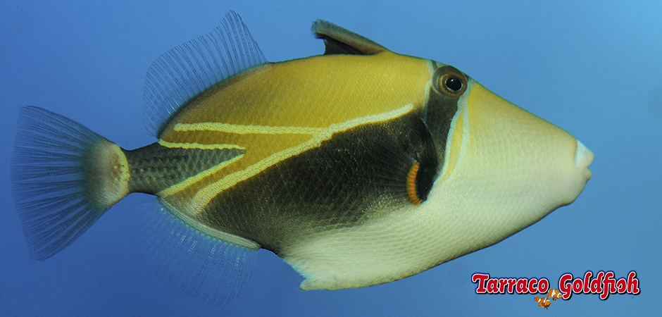 https://www.tarracogoldfish.com/wp-content/uploads/2015/02/Rhinecanthus-rectangulus-TarracoGoldfish2.jpg