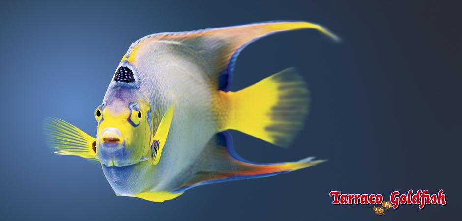 https://www.tarracogoldfish.com/wp-content/uploads/2015/03/Ciliaris-4-TarracoGoldfish.jpg