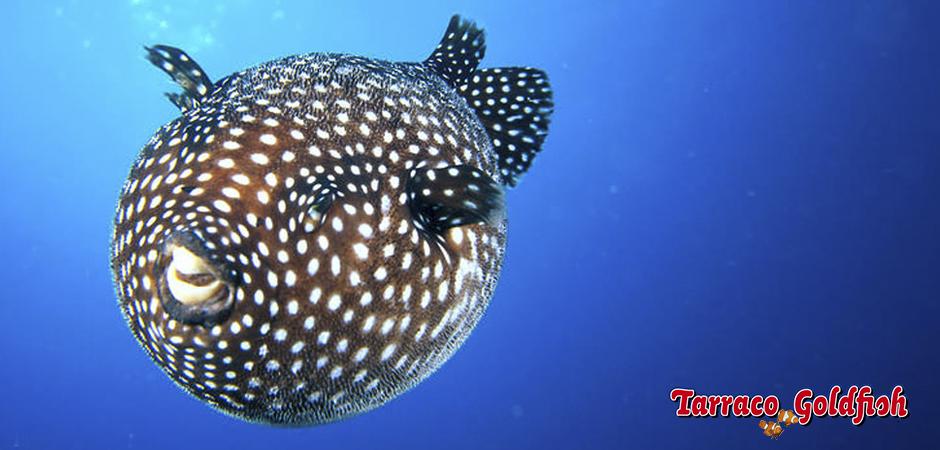 https://www.tarracogoldfish.com/wp-content/uploads/2015/03/arothron-meleagris-1-TarracoGoldfish.jpg