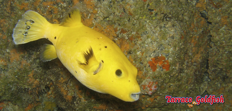 https://www.tarracogoldfish.com/wp-content/uploads/2015/03/arothron-meleagris-3-TarracoGoldfish.jpg