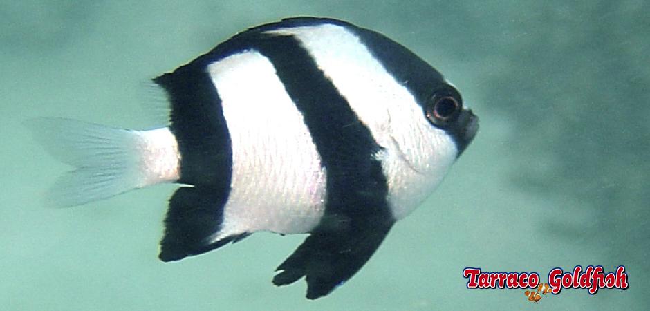 https://www.tarracogoldfish.com/wp-content/uploads/2015/05/dascyllus-aruanus4.jpg