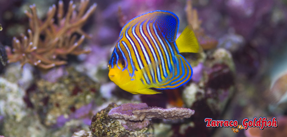 https://www.tarracogoldfish.com/wp-content/uploads/2015/06/Pigoplites-Diacanthus-1-Tarraco-Goldfish.jpg