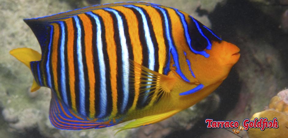 https://www.tarracogoldfish.com/wp-content/uploads/2015/06/Pigoplites-Diacanthus-3-Tarraco-Goldfish.jpg