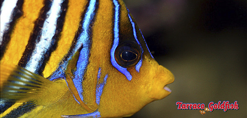 https://www.tarracogoldfish.com/wp-content/uploads/2015/06/Pigoplites-Diacanthus-4-Tarraco-Goldfish.jpg